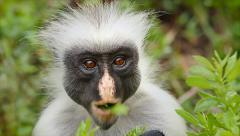 Zanzibar Red Colobus Monkey eating leaves in Tanzania. Stock Footage