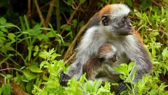 Zanzibar Red Colobus Monkey and baby eating leaves in Tanzania. - stock footage