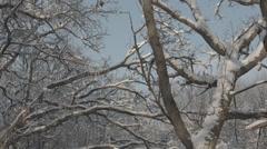 Snowy treetops swaying gently in wind Stock Footage