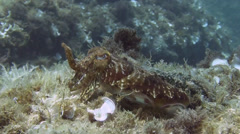 Cuttlefish Spain Mediteranean Sea (4) - stock footage