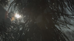 Snowy pine branch waving gently in breeze--pan right to left Stock Footage