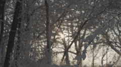 Heavy snow on thin branch at sunset--Tilt down Stock Footage