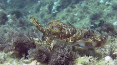 Cuttlefish Spain Mediteranean Sea (7) - stock footage