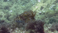 Stock Video Footage of Cuttlefish Spain Mediteranean Sea (8)