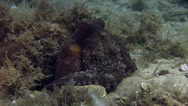 Stock Video Footage of Octopus Spain Mediteranean Sea (2)