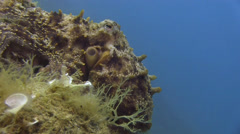 Octopus Spain Mediteranean Sea (7) - stock footage