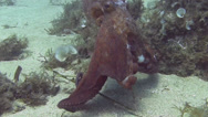 Stock Video Footage of Octopus Spain Mediteranean Sea (8)
