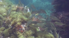 School of fish Spain Mediteranean Sea (3) - stock footage
