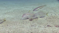 Stock Video Footage of Yellow Goatfish Spain Mediteranean Sea 1