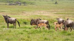 Blue Wildebeest or Gnu mothers and newborn babies in Tanzania. Stock Footage