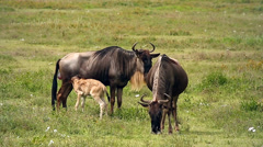 A newborn Blue Wildebeest calf takes its first steps in Tanzania. Stock Footage