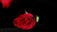 Stock Video Footage of 0577 Roses Falling in Slow Motion