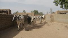 Africa - Cow / zebu herd in village Stock Footage