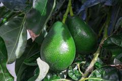 Bunch of avocado hanging on the tree branch Stock Photos