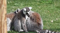 Wildlife -Lemures 3 Stock Footage