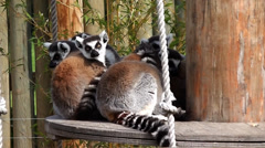 Wildlife- Lemures 1 Stock Footage