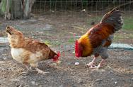 Stock Photo of golden headed maran rooster and hen eating