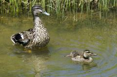 Female mallard duck and here duckling Stock Photos