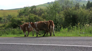 Stock Video Footage of cows go on the road. altai krai. russia.
