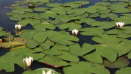 Stock Video Footage of beautiful water lily on the lake manzherok. altai krai. russia.