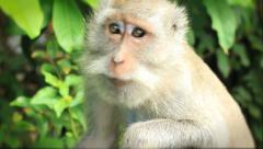 A close-up of a beautiful eyed monkey at Uluwatu temple in Indonesia Stock Footage