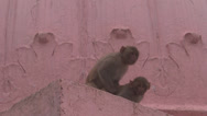 Stock Video Footage of Little naughty monkeys paying