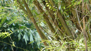 Stock Video Footage of A well grown cluster of bamboo plants (BAMBOO--2D)