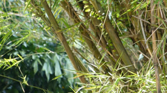 A well grown cluster of bamboo plants. (BAMBOO--2C) Stock Footage