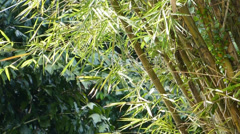 A well grown cluster of bamboo plants (BAMBOO--1B) Stock Footage
