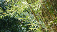 Stock Video Footage of A well grown cluster of bamboo plants (BAMBOO--1B)