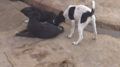 Playful street Dogs Stock Footage