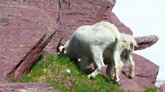 Mountain Goat (Oreamnos americanus) - stock footage