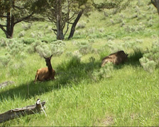 Elk, Wapiti, Cervus canadensis, hinds lying in shade Stock Footage