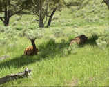 Stock Video Footage of Elk, Wapiti, Cervus canadensis, hinds lying in shade