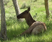 Elk, Wapiti, Cervus canadensis, hind lying in shade Stock Footage