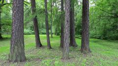 Pine meadow Stock Footage
