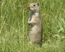 Uinta ground squirrel standing upright (posting) + alarm call Stock Footage