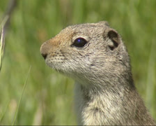 Uinta ground squirrel standing on back legs (posting) + alarm call - close up Stock Footage