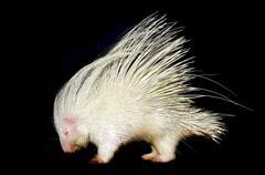 albino porcupine isolated - stock photo