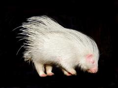 albino porcupine isolated - stock photo