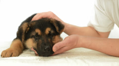 German Shepherd puppy in human hands Stock Footage