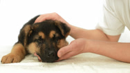 Stock Video Footage of German Shepherd puppy in human hands