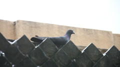 Pigeons Feeding On The Square Stock Footage