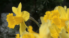 Stock Video Footage of Daffodil Flowers - Yellow - Very Close - Loop - 06