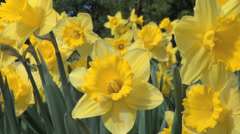 Daffodil Flowers - Yellow - Very Close - Loop - 03 Stock Footage