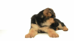 German Shepherd puppy Stock Footage