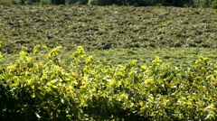 Grapes Vineyard-01 Stock Footage
