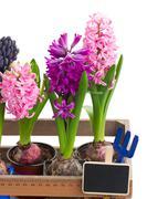 Hyacinth flowers close up Stock Photos