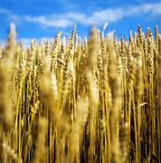 grain field - stock photo
