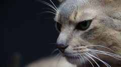 A silver Tomcat observes environment & see above Stock Footage